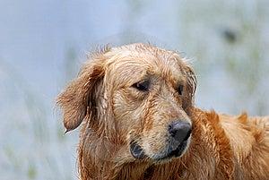Dog-Golden Retriever Stock Photo - Image: 14552610