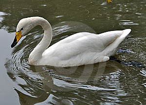 A White Swan Is Swimming In Water Royalty Free Stock Image - Image: 14552656