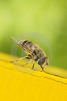 Hoverfly Royalty Free Stock Images - Image: 14552839