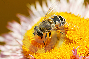 Hoverfly Royalty Free Stock Photography - Image: 14553047