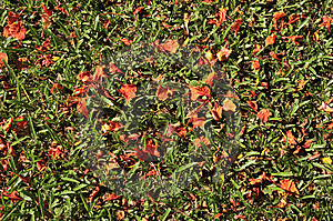 Grass And Red Leaf Stock Images - Image: 14555224