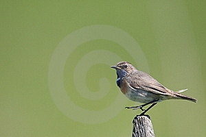 Bluethroat Royalty Free Stock Photography - Image: 14560007