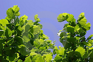 Green Leaves Against Sky Royalty Free Stock Image - Image: 14565106