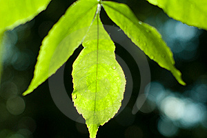 Leaf And Bokeh Royalty Free Stock Photography - Image: 14565787