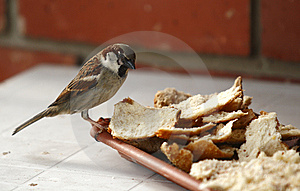 Sparrow Royalty Free Stock Photo - Image: 14567095