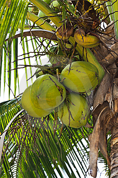 Threesome Coconuts Royalty Free Stock Photos - Image: 14567428