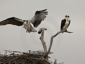 Osprey Royalty Free Stock Images - Image: 14573389