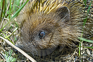Close Up Picture Of A Hedgehog Hiding In The Grass Royalty Free Stock Images - Image: 14581709