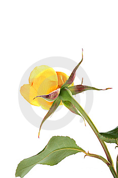 Rose Stock Photography - Image: 14582112