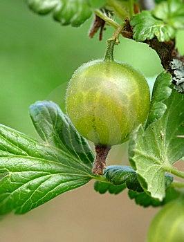 Gooseberries Stock Photography - Image: 14584392
