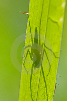 Lynx Spider And Shadow Royalty Free Stock Image - Image: 14585516