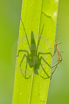 Lynx Spider And Shadow Stock Images - Image: 14585524
