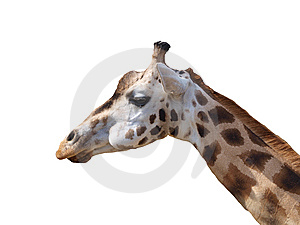 Giraffe On The White Background Royalty Free Stock Images - Image: 14587059