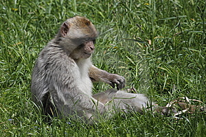 Barbary Macaque In The Grass Stock Photography - Image: 14593172
