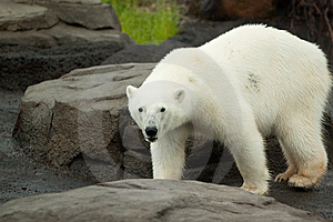 Polar Bear Walking On Rock Stock Images - Image: 14593314