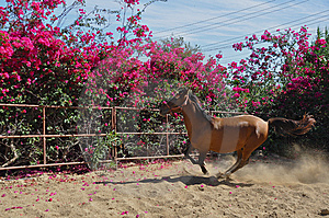Galloping  Horse Royalty Free Stock Photography - Image: 14595407