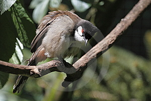 Red-whiskered Bulbul Royalty Free Stock Photos - Image: 14595608