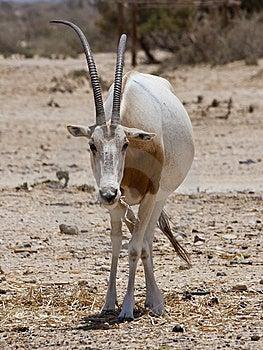 Sahara Oryx Royalty Free Stock Photography - Image: 14595937