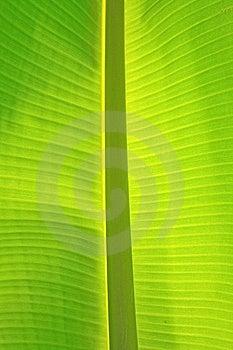 Banana Leaf Royalty Free Stock Photography - Image: 14597527
