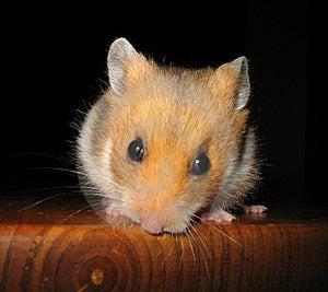 Free Stock Photo - Golden Hamster