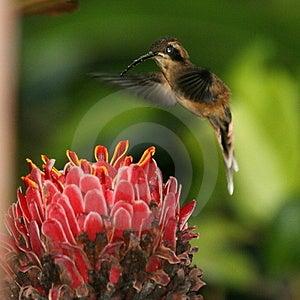 Kolibřík vznášející se nad červený květ henri pittier