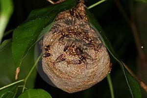 Wasps Nest 2 Royalty Free Stock Image - Image: 1467936