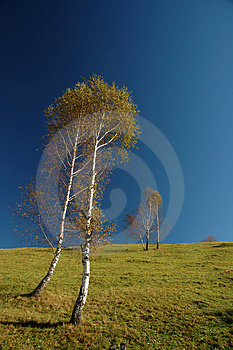 Birch Trees Stock Image - Image: 1468971