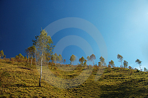 Birch Trees Royalty Free Stock Images - Image: 1468989