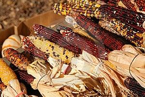 Feiertags-Mais-Ernte Lizenzfreie Stockfotos - Bild: 1469048
