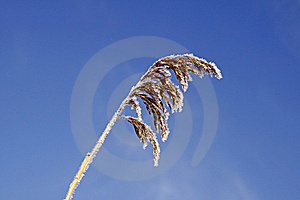 Common Reed In Winter, Germany Stock Photo - Image: 14604150
