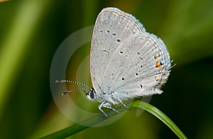 Eastern Tailed Blue Royalty Free Stock Photography - Image: 14606567