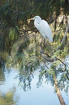 White Egret Royalty Free Stock Image - Image: 14609926