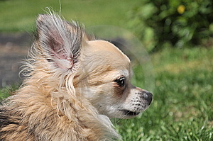 Chihuahua's Profile Royalty Free Stock Image - Image: 14609986
