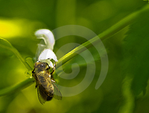 Bee At White Flower Royalty Free Stock Photo - Image: 14610055