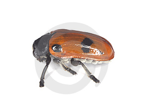 Four-spotted Leaf Beetle Royalty Free Stock Photography - Image: 14610097