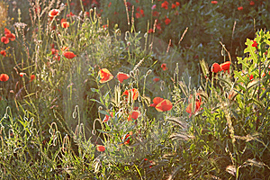 Light Falling Over A Field With Poppy Flowers Stock Photos - Image: 14615803
