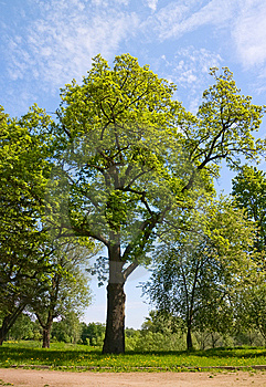 Green oak tree Free Stock Image