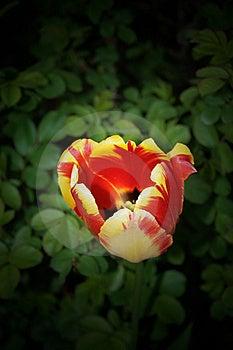 Tulip Bud Royalty Free Stock Photos - Image: 14622918