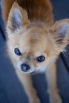 Chihuahua Staring Royalty Free Stock Images - Image: 14623339
