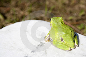 Treefrog Royalty Free Stock Photos - Image: 14627928