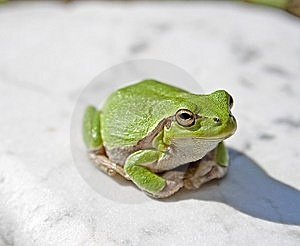 Treefrog Royalty Free Stock Photo - Image: 14627945