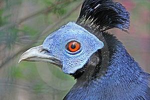 Malayen Hood Pheasant Royalty Free Stock Photo - Image: 14629785