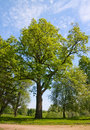 Green oak tree Royalty Free Stock Image