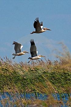 Pelicans (pelecanus Onocrotalus) Stock Images - Image: 14630084