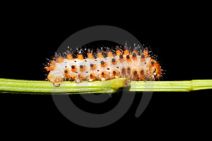 Butterfly Southern Festoon Caterpillar Stock Image - Image: 14630251