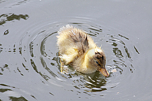 Wet Duckling Royalty Free Stock Photography - Image: 14630937