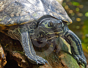 Slider Turtle Cropped Stock Image - Image: 14633511