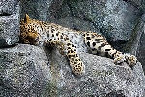 Amur Leopard Resting Stock Photo - Image: 14634870
