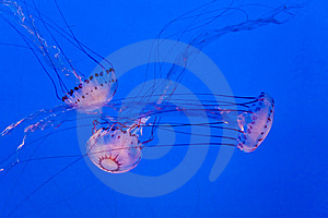 Jellys In Ocean Royalty Free Stock Images - Image: 14636369