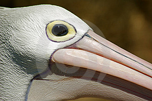 Pelican Head Royalty Free Stock Photo - Image: 14638575
